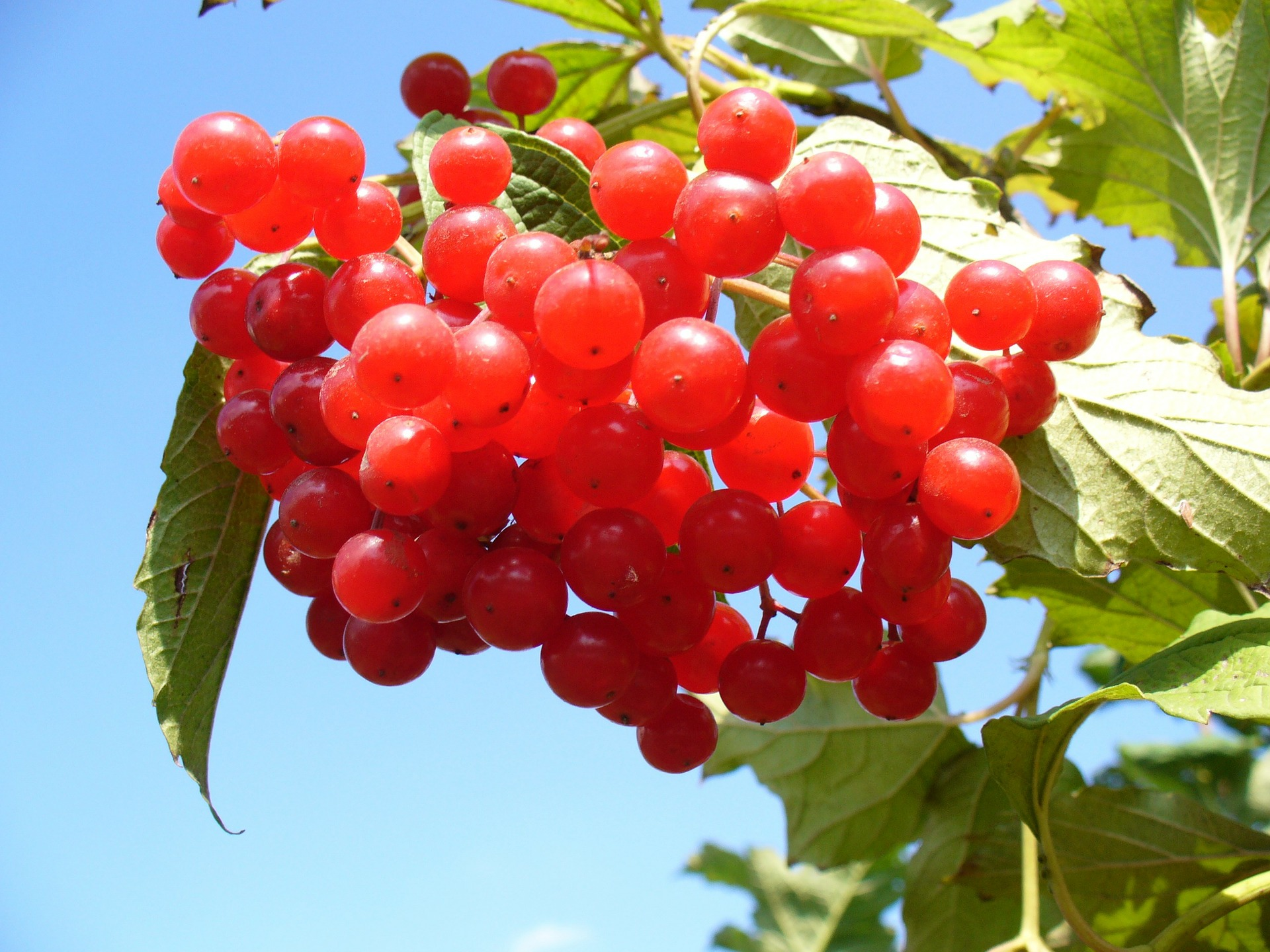 Khoảng 20% quả nam việt quất được tiêu thụ ở Mỹ mỗi năm trong ngày Lễ tạ ơn