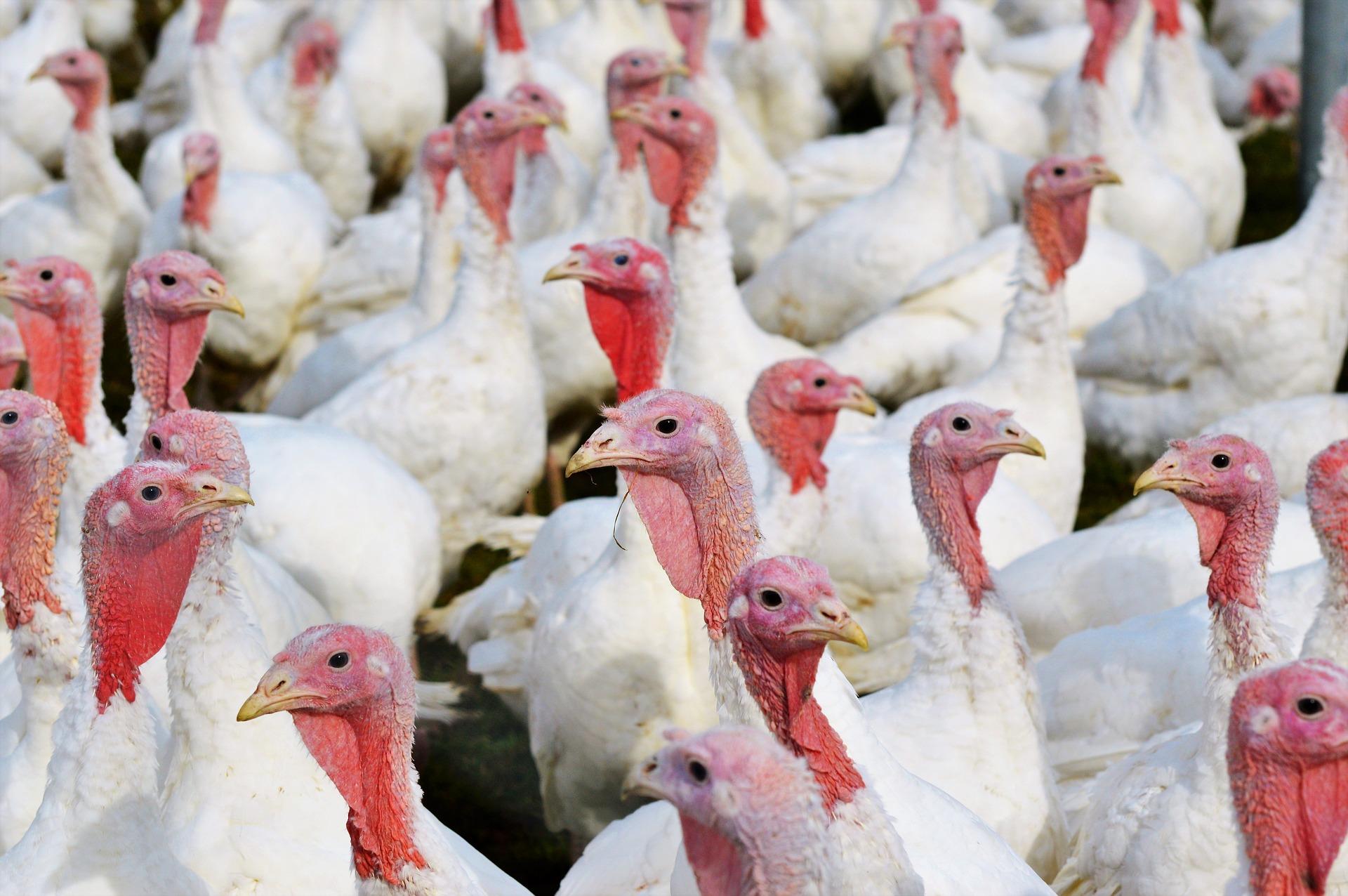 Từ thời tổng thống Harry Truman, cứ mỗi vị tổng thống sẽ ân xá cho một con gà tây trong ngày Lễ Tạ Ơn