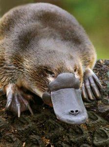 Thú mỏ vịt là một trong năm loài thú đơn huyệt còn tồn tại trên Thế giới hiện nay