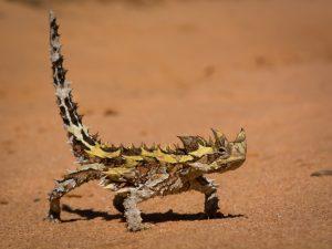 Thằn lằn quỷ gai hay còn gọi là thằn lằn Moloch nổi tiếng về khả năng ngụy trang ẩn náu tại các sa mạc