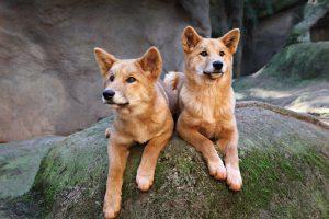 Dingo là những kẻ săn mồi trên cạn lớn nhất của lục địa Úc