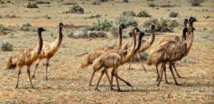 Emu thích đời sống hoang dã tại những khu rừng thưa và các cánh đồng khô cằn
