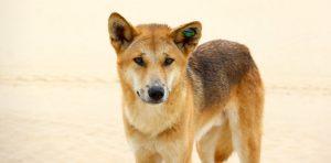 Chó hoang Dingo chủ yếu được tìm thấy tại môi trường hoang dã, hẻo lánh