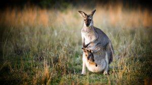 Kangaroo sơ sinh sẽ sống trong chiếc túi trước bụng mẹ trong một năm đầu tiên