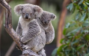 Những chú gấu Koala địu con trên lưng là hình ảnh dễ thương thường thấy ở Úc