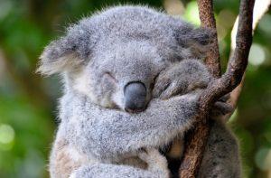 Gấu Koala đáng yêu rất thân thiện với con người
