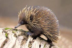 Thú lông nhím nổi tiếng là loài có các cách tự vệ vô cùng độc đáo