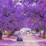 Jacaranda và khúc giao mùa đông – xuân đầy tinh tế tại Úc