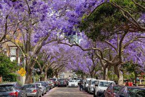 Lớp áo tím phủ trên con lộ McDougall là điểm thăm thú đặc biệt của nhiều du khách tại Lavender Bay thuộc thành phố Sydney.