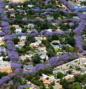 """Đừng để vẻ ngoài mỏng manh của loài hoa này đánh lừa bạn! Jacaranda có thể sinh trưởng trong những điều kiện khắc nghiệt nhất, minh chứng qua hình ảnh hàng phượng tím mọc """"ngay ngắn"""" khi nhìn từ phía trên của một thành phố ở Nam Phi."""