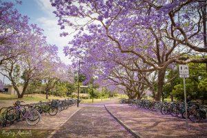 Đại học Queensland cũng là tên tuổi nổi tiếng sở hữu nhiều hàng Jacaranda đắt giá của Brisbane.