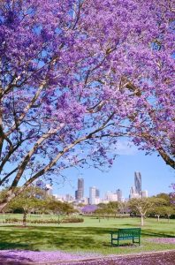 """Thành phố Brisbane với hàng phượng tím trứ danh ven hồ New Farm thơ mộng sẽ """"đốn ngã"""" trái tim của bất cứ ai từ lần ngắm nhìn đầu tiên."""