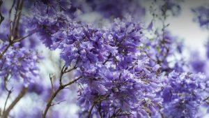 Từng chùm hoa Jacaranda khoe sắc mang đến cảm giác yên bình đặc trưng vào mỗi độ xuân về