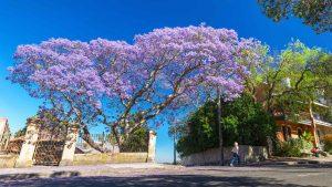 Chỉ một cây phượng tím nở rộ cũng đủ làm nơi ấy trở nên nổi bật dưới nắng sớm mùa xuân.